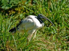 Free Sacred Ibis Stock Image - 15862551