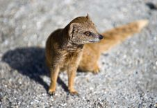 Free Mongoose Stock Photo - 15862620
