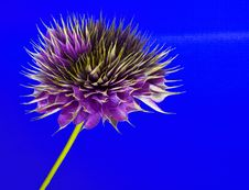 Free Clematis On Blue Stock Photo - 15863960