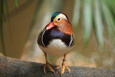 Free Mandarin Duck Stock Photos - 15865123