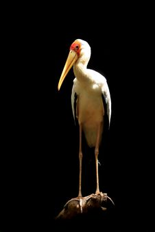 Stork On Black Royalty Free Stock Photography