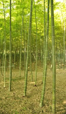 Free Bamboo Forest Stock Photography - 15865582