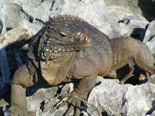 Free Iguana On The Rocks Royalty Free Stock Photo - 15866165