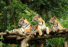 Free Bengal Tiger Royalty Free Stock Photography - 15867067