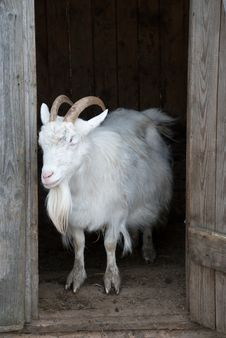 Free Goat Stock Photo - 15867490