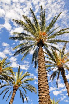 Free Palm Trees Against Cloudy Sky Royalty Free Stock Photo - 15867535