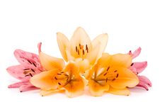 Free Yellow And Pink Lilies Stock Photos - 15867743