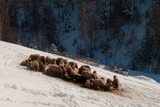 Free Flock Of Sheep In Winter Stock Photo - 15868730