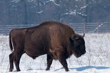Free European Bison (Bison Bonasius) In Winter Stock Photography - 15868822