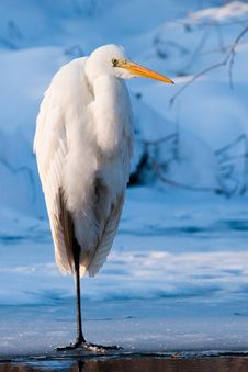 Great White Egret Standing On Ice Stock Photography