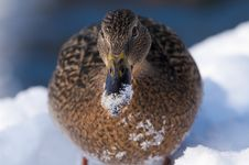 Free Mallard Duck Female Portrait In Winter Royalty Free Stock Photography - 15868847