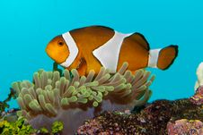 Free Clownfish In Anemone Stock Images - 15868934