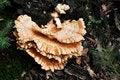 Free Big Bracket Fungus Royalty Free Stock Photography - 15871547