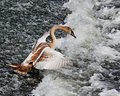 Free Young Mute Swan On River Weir (Cygnus Olor) Royalty Free Stock Images - 15873489