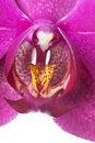 Free Phalaenopsis Stock Image - 15874101