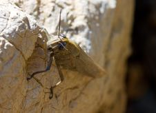 Free Brown Locust Royalty Free Stock Image - 15870476