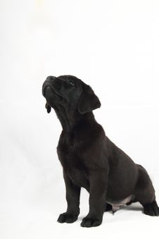 Free Studio Portrait Of A Labrador Puppy Royalty Free Stock Image - 15870616
