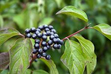 Free Wild Berries Royalty Free Stock Photo - 15870935