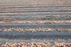 Free Field With Onion During Harvesting Royalty Free Stock Photo - 15871135