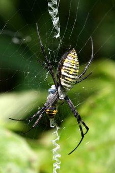 Free Banded Garden Spider Female Stock Photo - 15871480