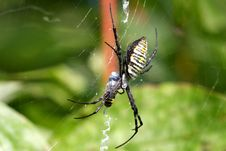 Free Banded Garden Spider Female Royalty Free Stock Image - 15871496