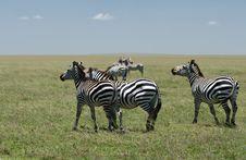 Free Zebra Royalty Free Stock Images - 15871919