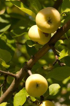 Free Fruit  Apple  Yellow Royalty Free Stock Image - 15872626
