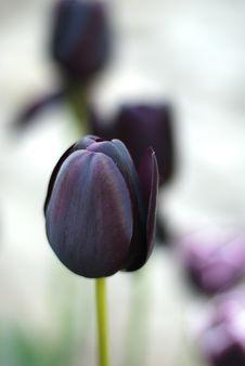 Free Tulip Royalty Free Stock Image - 15873316
