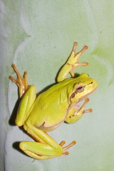 Free Green Tree Frog  / Hyla Arborea Royalty Free Stock Photography - 15873357