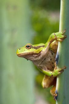 Free Green Tree Frog / Hyla Arborea Stock Photography - 15873362