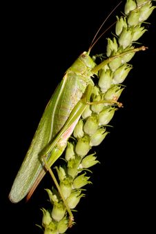 Great Green Bush-cricket / Tettigonia Viridissima Stock Photos