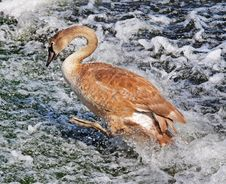 Free Young Mute Swan On River Weir (Cygnus Olor) Royalty Free Stock Photo - 15873435