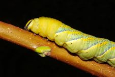 Free Hawk-moth (Death S-head) Caterpillar Stock Images - 15873454