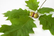 Free Acorns Made Out Stock Photography - 15873502
