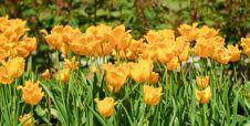 Free Tulip Stock Photo - 15873690