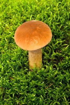 Free Young Mushroom Boletus Royalty Free Stock Photo - 15873905