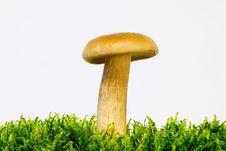 Free Young Mushroom Boletus Royalty Free Stock Photo - 15873985