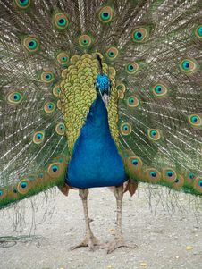 Free Peacock Royalty Free Stock Photos - 15875398