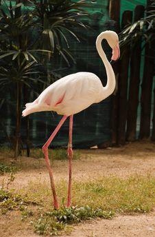 Free Flamingo Royalty Free Stock Photos - 15875838