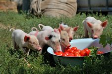 Free Little Piglets Stock Images - 15876064