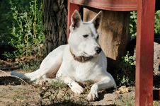 Free White Dog Royalty Free Stock Image - 15876416