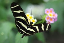 Free Butterfly Royalty Free Stock Photo - 15877335