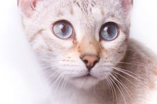 Free Spoted Bengal Cat S Face Stock Photography - 15877432
