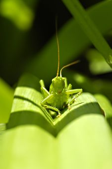Free Grasshopper Stock Photo - 15877690