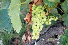 Free Green Grapes Stock Image - 15879301