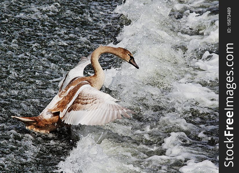 Young Mute Swan on River Weir (Cygnus Olor)