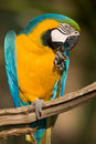 Free Close Up Of A Colorful Parrot Eating. Royalty Free Stock Photography - 15880547