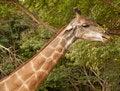 Free Giraffe Royalty Free Stock Photos - 15881488