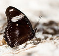Free Beautiful Brown Butterfly Stock Photos - 15886553