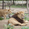 Free Lion And Lioness Royalty Free Stock Images - 15887239